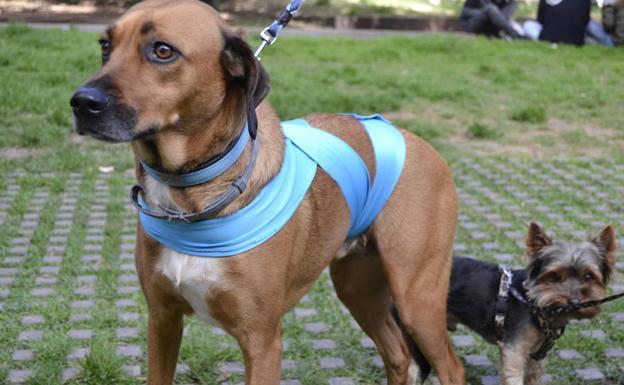 Estudiantes valencianos diseñan una banda antiestrés para que los perros no sufran por los petardos en Fallas